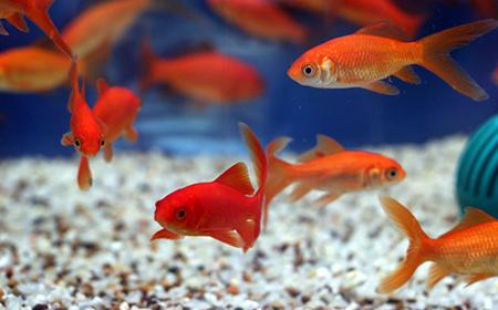 Zlatne ribice: Održavanje akvarijuma