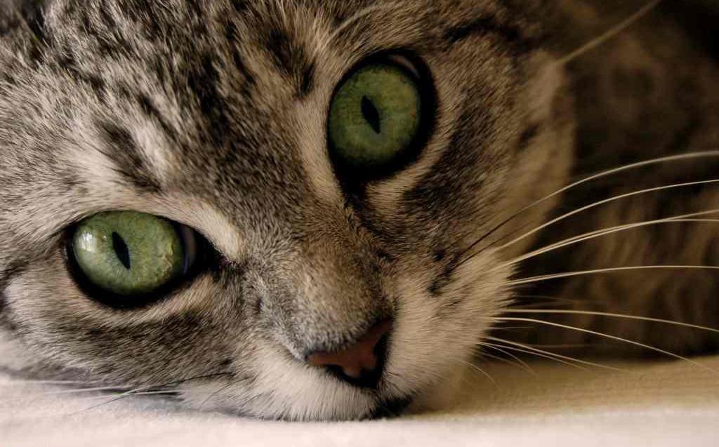 Infekcija oka kod mačaka